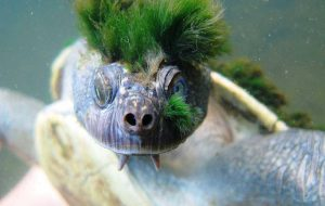 punk mary river turtle