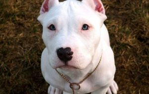 Drake dog winter american bully