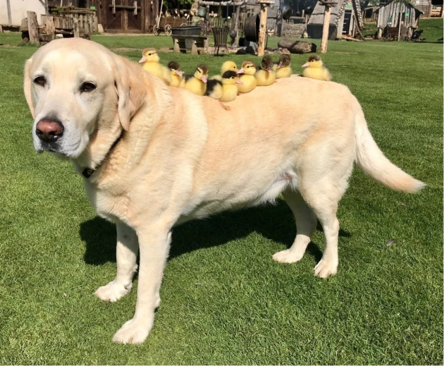 Fred labrador nine ducklings
