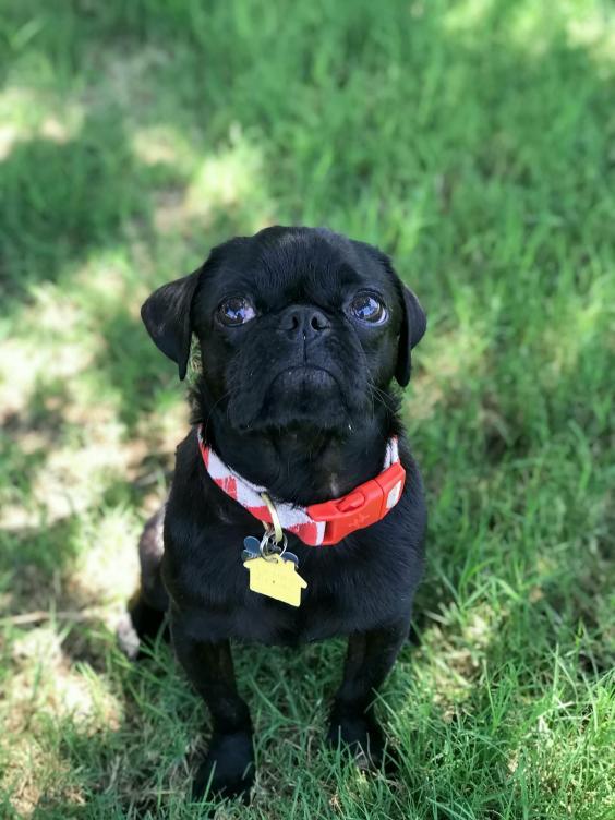 dex rescue pug