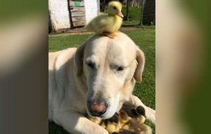 Fred labrador adopts nine ducklings