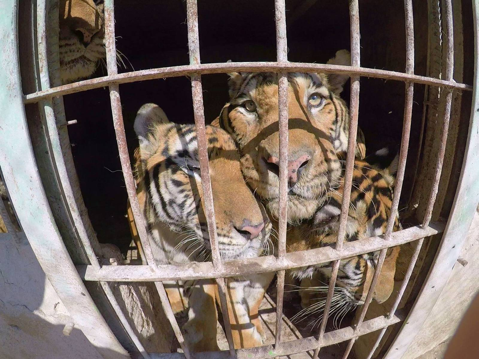 tiger circus rescue