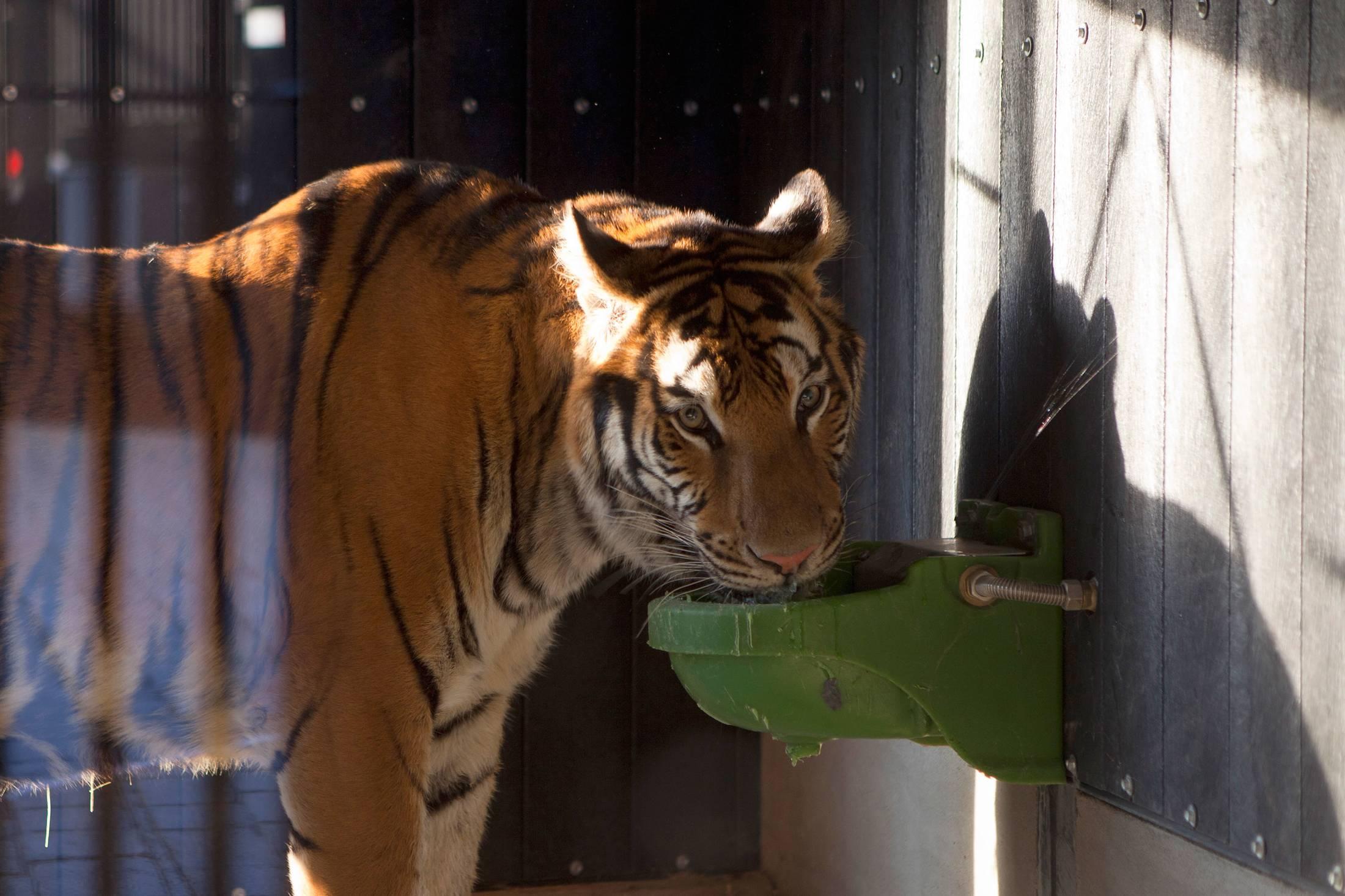 tiger rescue circus