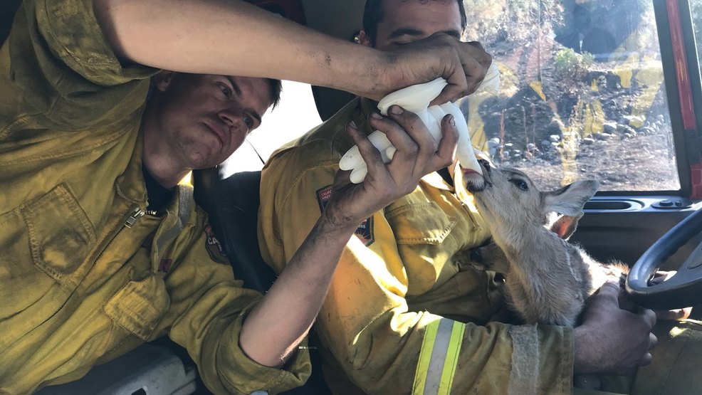firefighter rescue baby fawn wildfire