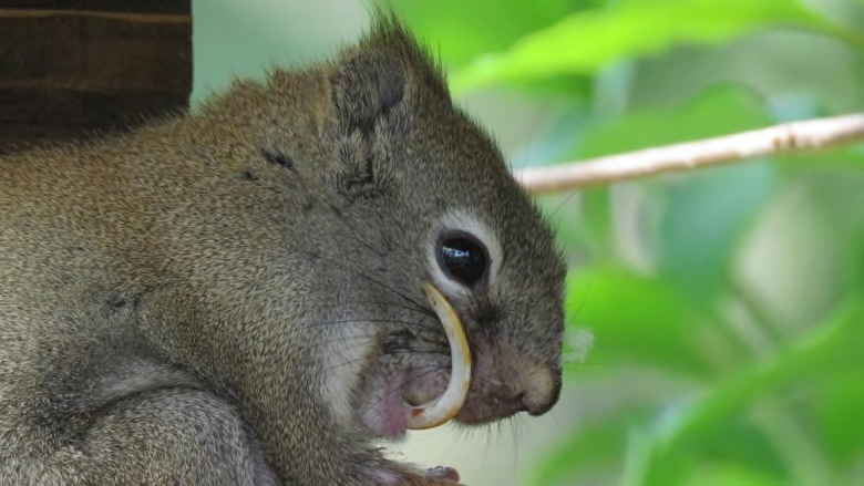toothy squirrel bucky