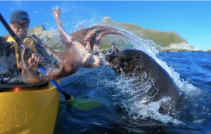 Octopus-seal-kayaker