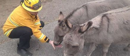 Two Donkeys Rescued From Camp Fire in California